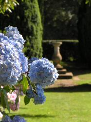 Hydrangea by the sundial